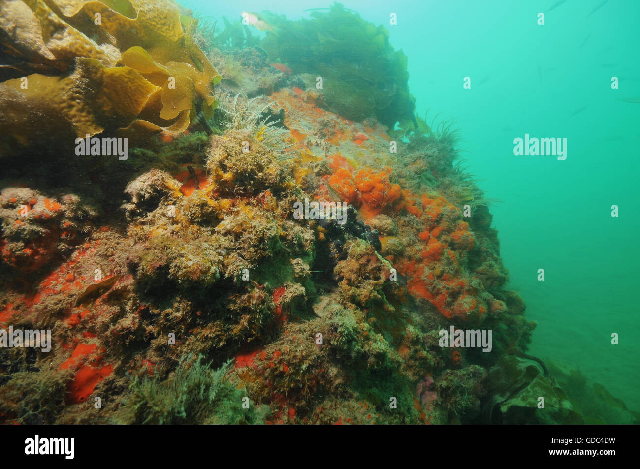 Wall covered with sponges and other invertebrate life forms Stock Photo