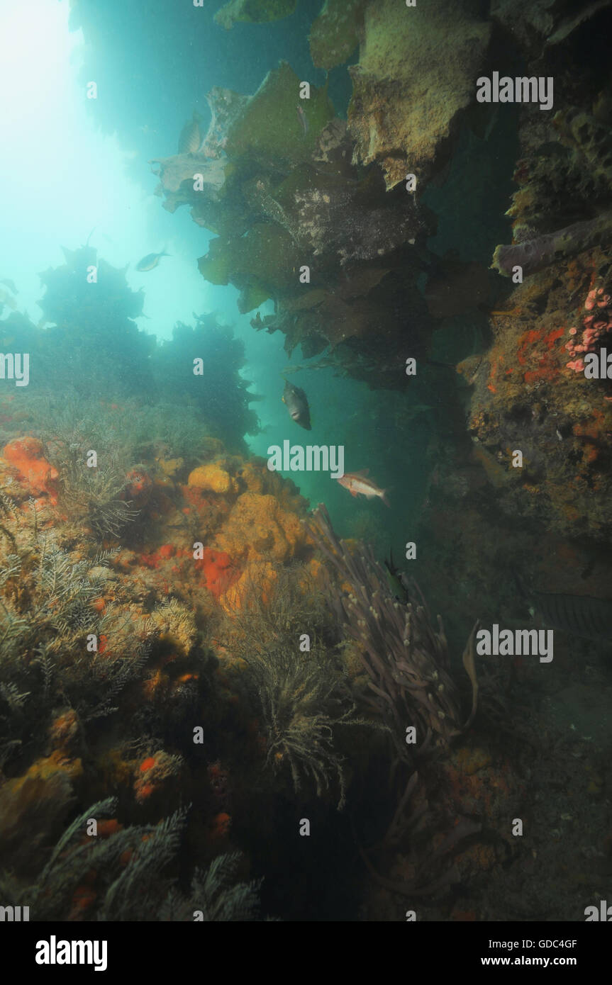 Underwater wall with rich invertebrate life - Stock Image
