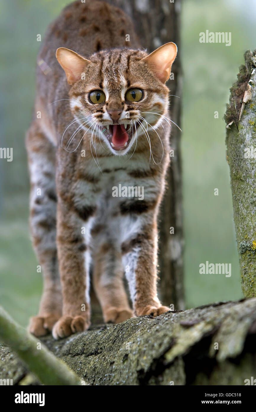 Rusty-Spotted Cat, prionailurus rubiginosus, Adult snarling - Stock Image