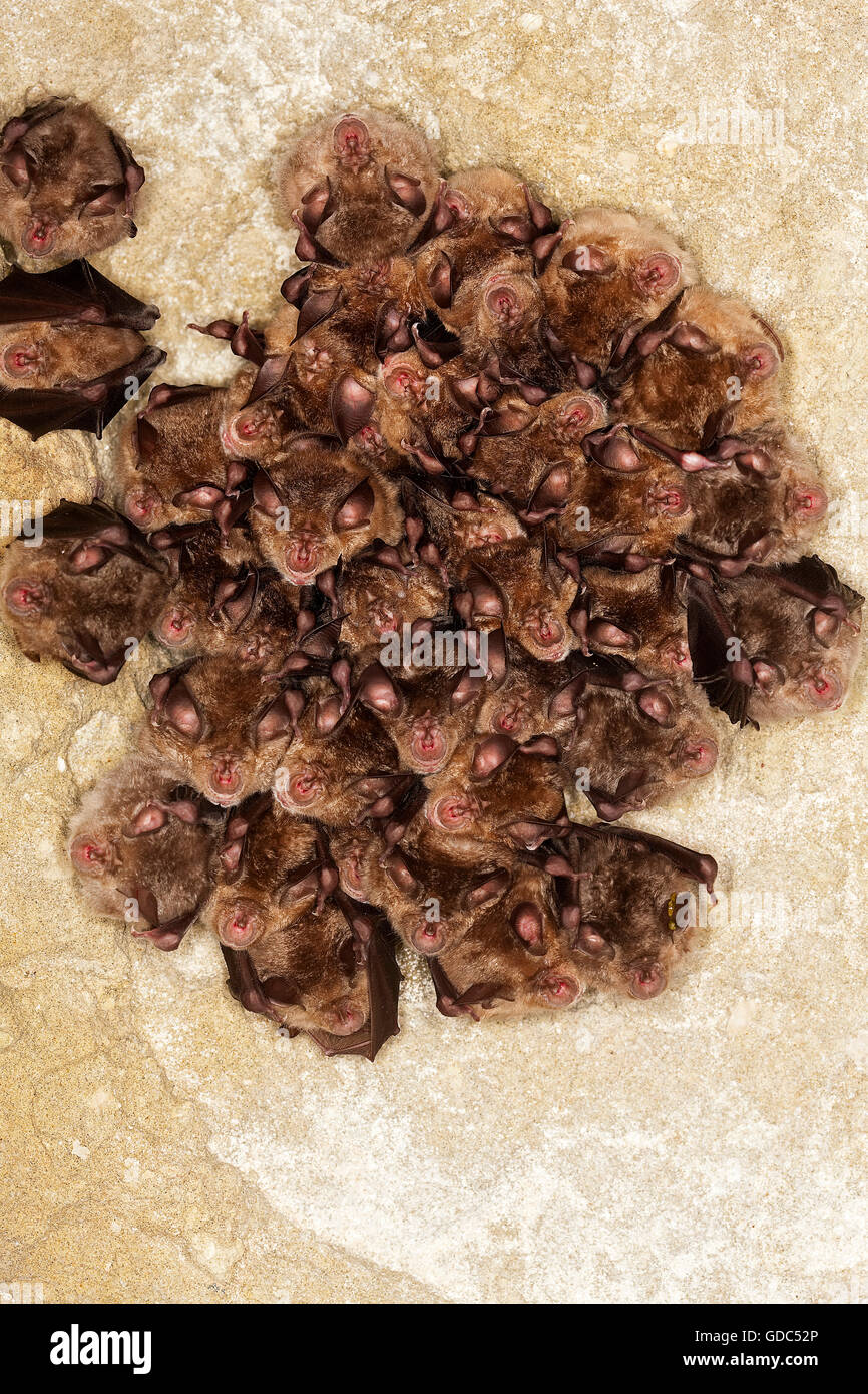 GREATER HORSESHOE BAT rhinolophus ferrumequinum, COLONY HIBERNATING IN A CAVE, NORMANDY IN FRANCE - Stock Image
