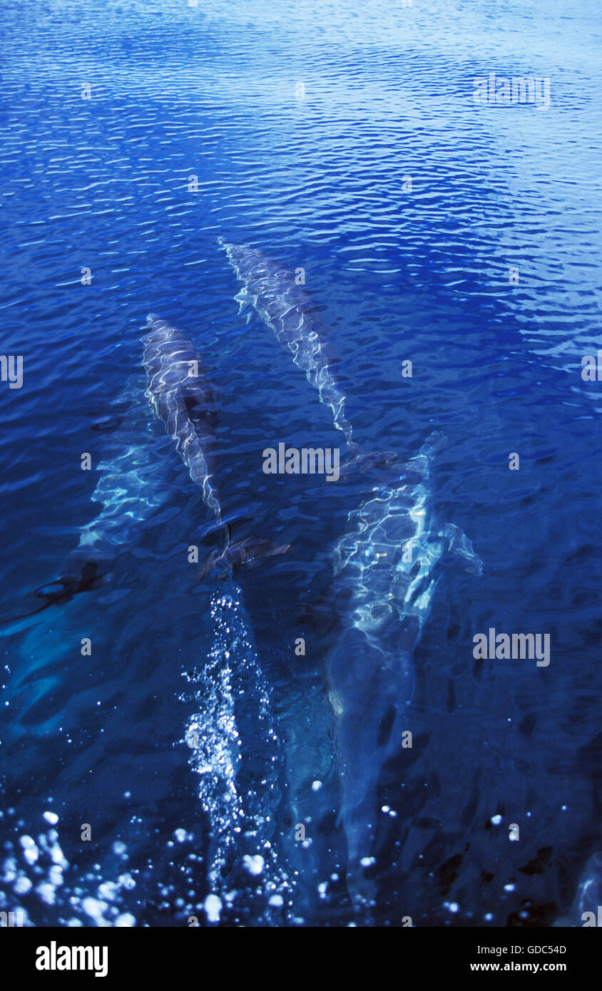 Group of Dophins in Mexico - Stock Image