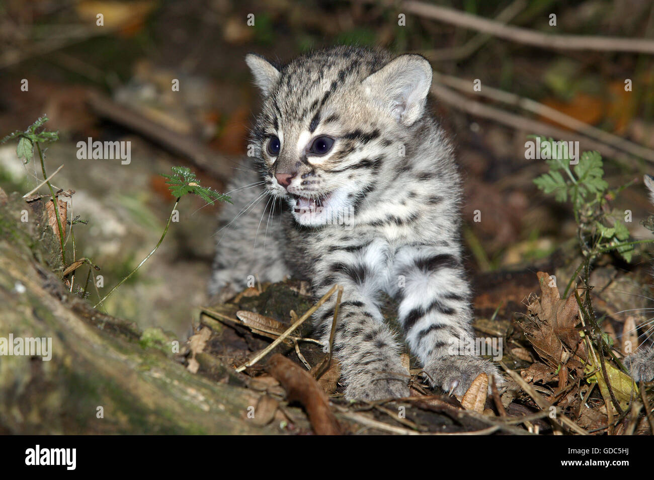 Geoffroy's Cat, oncifelis geoffroyi, Kitten - Stock Image