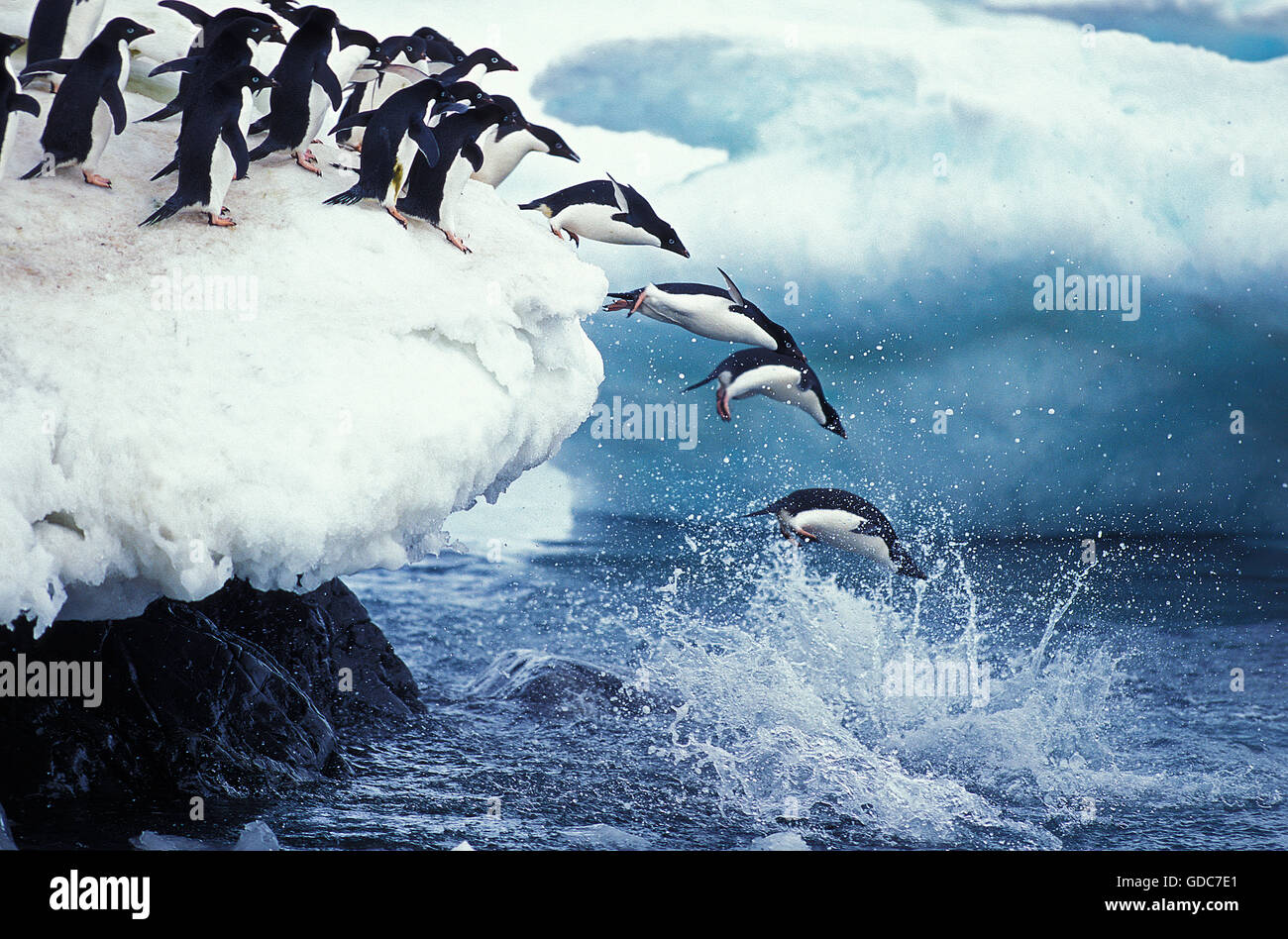 ADELIE PENGUIN pygoscelis adeliae, COLONY ON PAULET ISLAND, GROUP LEAPING INTO OCEAN, ANTARTICA - Stock Image