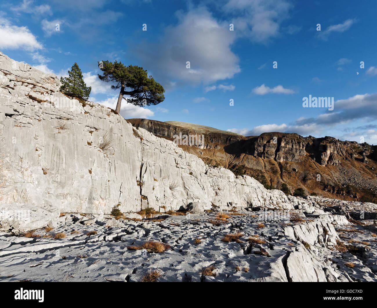 pine in karst Stock Photo