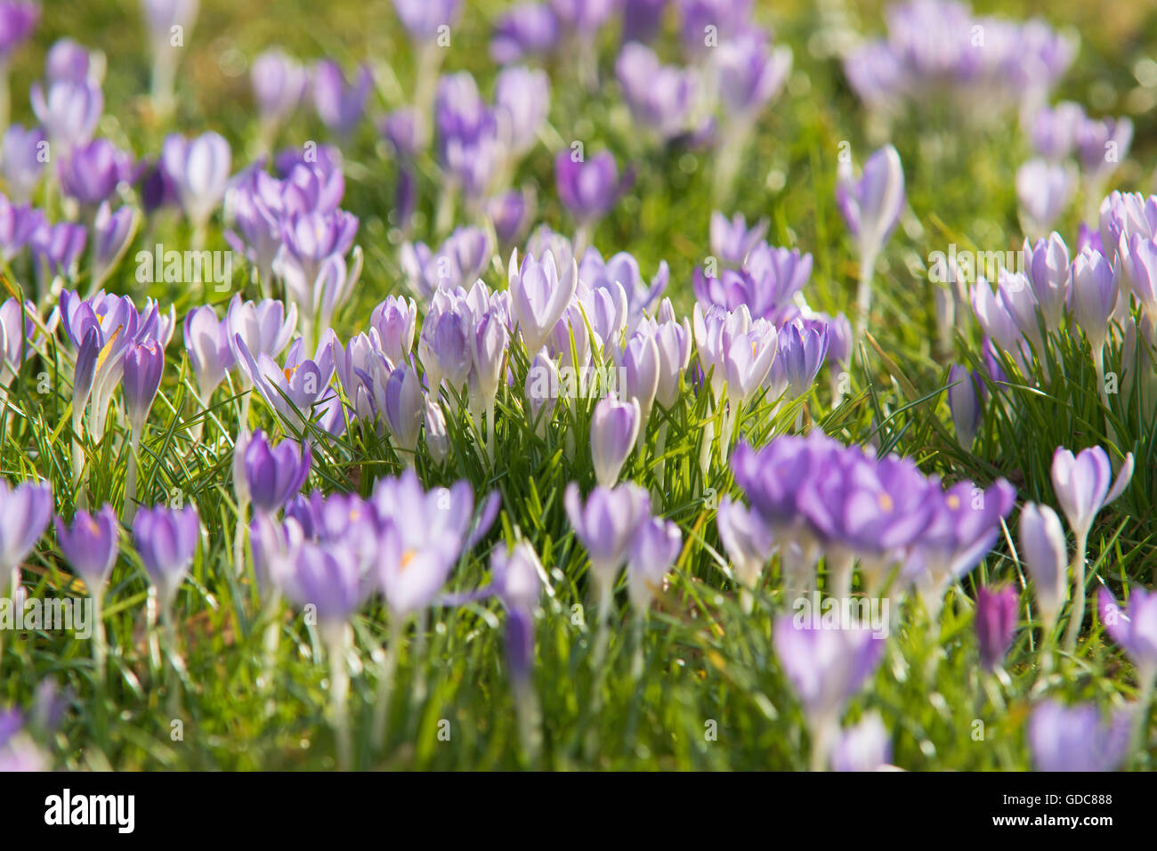 mauve crocus in full blossom,flourish, - Stock Image