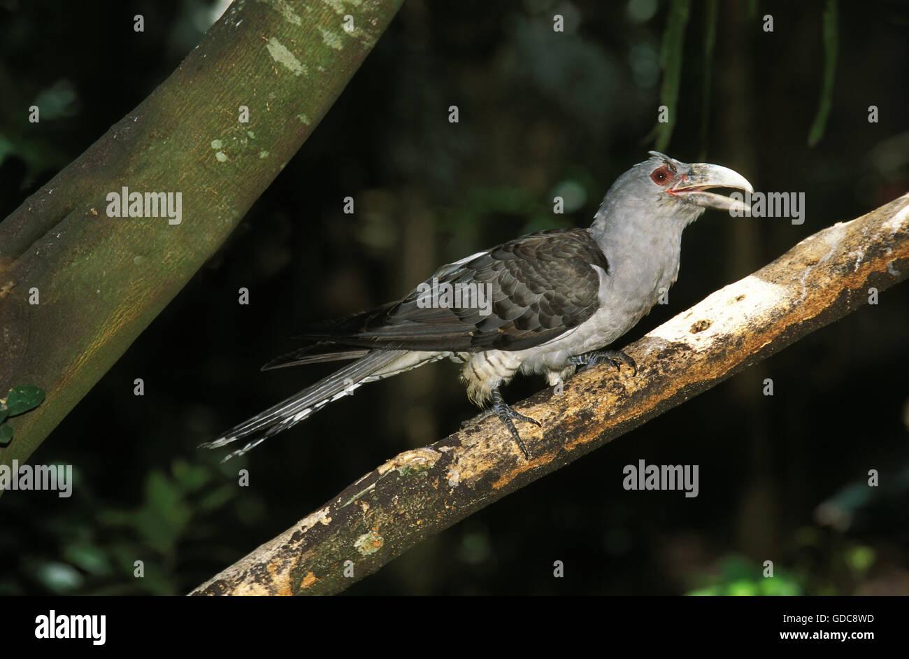Channel-Billed Cuckoo, scythrops novaehollandiae, Adult on Branch - Stock Image