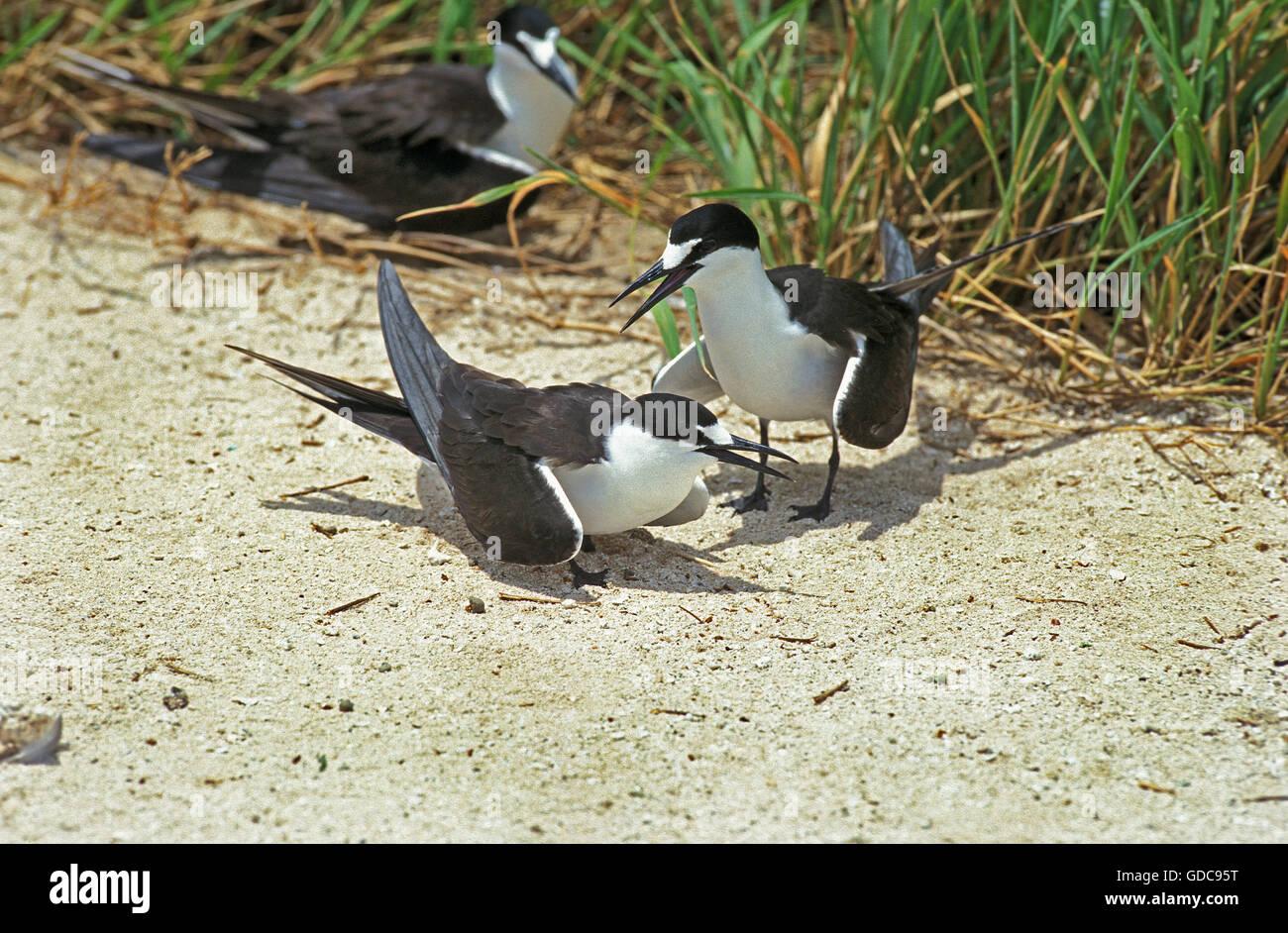 Sooty Tern, sterna fuscata, Group, Australia Stock Photo