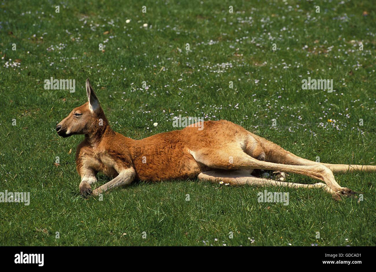 Red Kangaroo, macropus rufus, Adult laying down on Grass - Stock Image