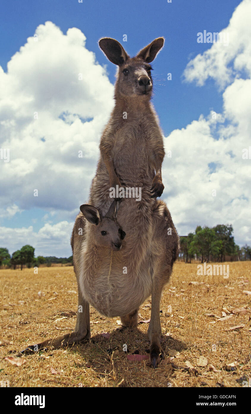 Eastern Grey Kangaroo, macropus giganteus, Female with Head of Joey emerging from Pouch, Australia - Stock Image