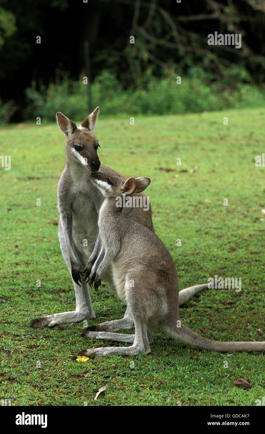 PRETTY FACED WALLABY macropus parryi, MOTHER WITH JOEY, AUSTRALIA - Stock Image