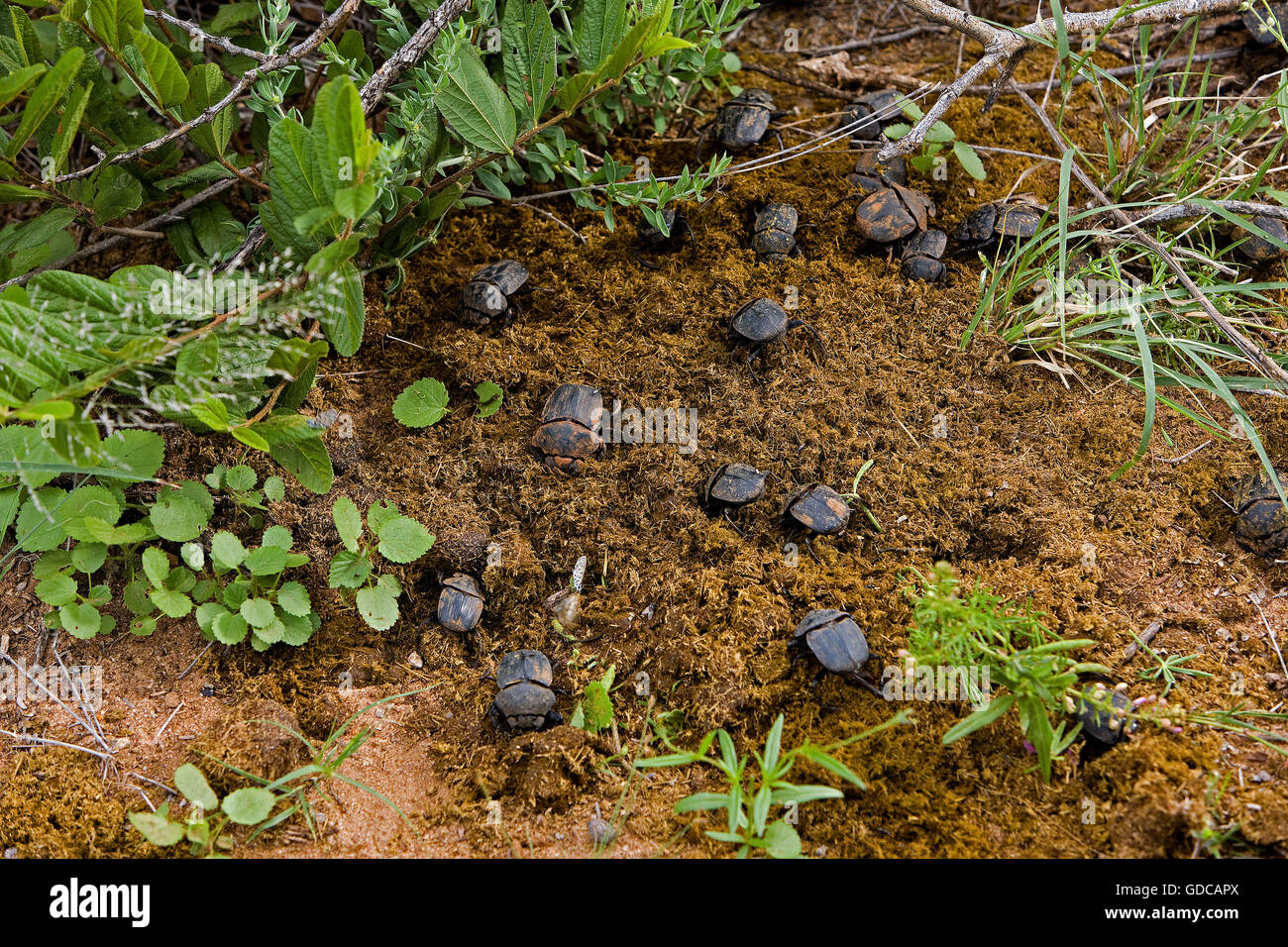 Dung Beetle on Elephant's Dung, Namibie - Stock Image