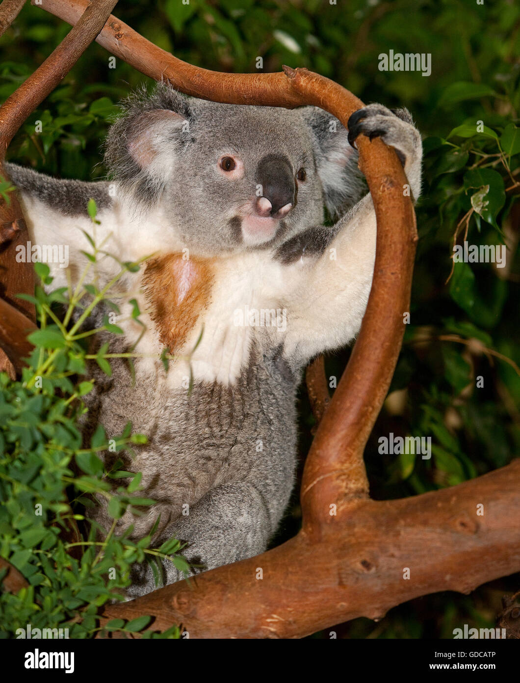 Koala, phascolarctos cinereus, Male sitting on Branch - Stock Image