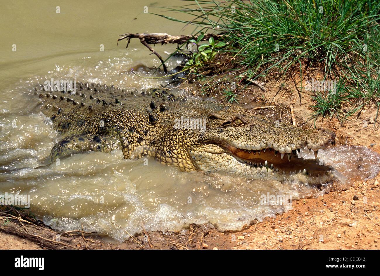 AUSTRALIAN SALWATER CROCODILE OR ESTUARINE CROCODILE crocodylus porosus, ADULT COMING OUT WATER, AUSTRALIA - Stock Image