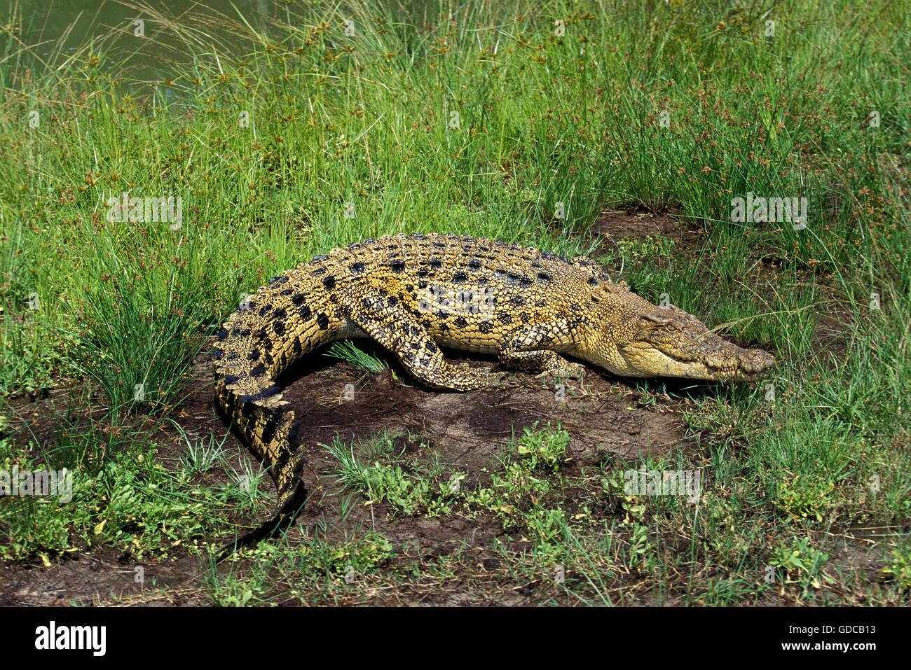 AUSTRALIAN SALWATER CROCODILE OR ESTUARINE CROCODILE crocodylus porosus - Stock Image