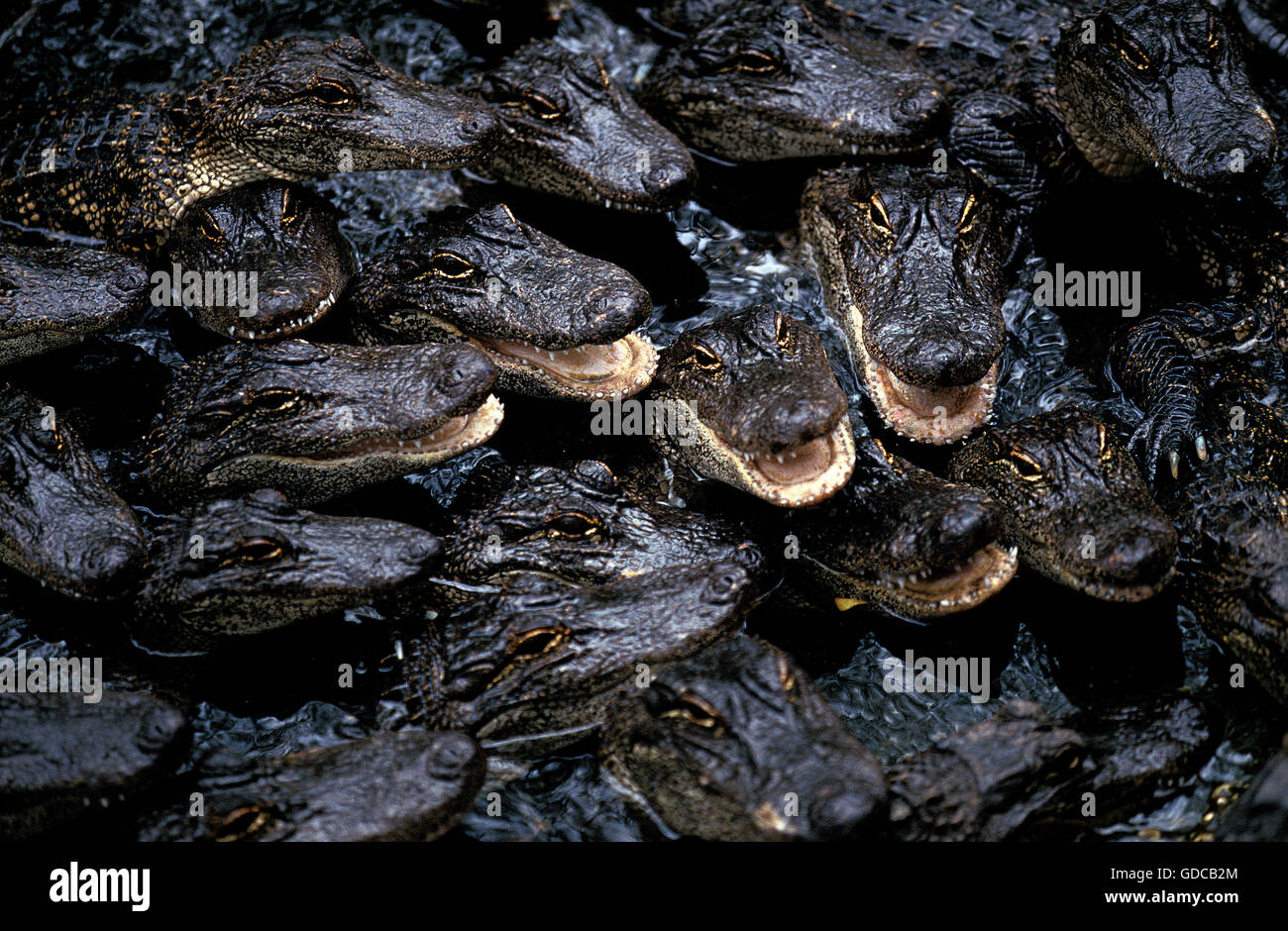 AMERICAN ALLIGATOR alligator mississipiensis, GROUP OF YOUNGS, FLORIDA - Stock Image