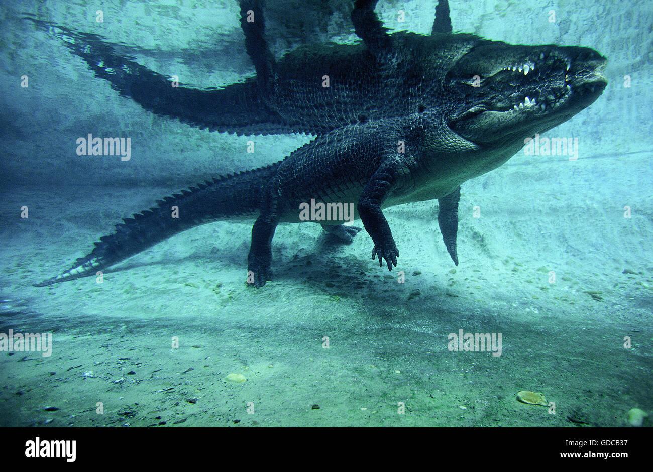 Australian Saltwater Crocodile or Estuarine Crocodile, crocodylus porosus, Adult in Water, Australia - Stock Image