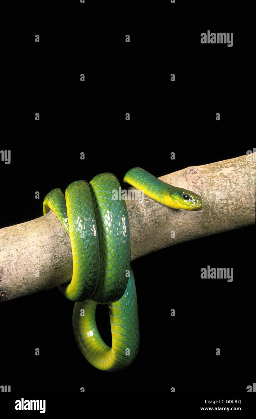 GREEN SNAKE opheodrys major COILED ON BRANCH AGAINST BLACK BACKGROUND Stock Photo