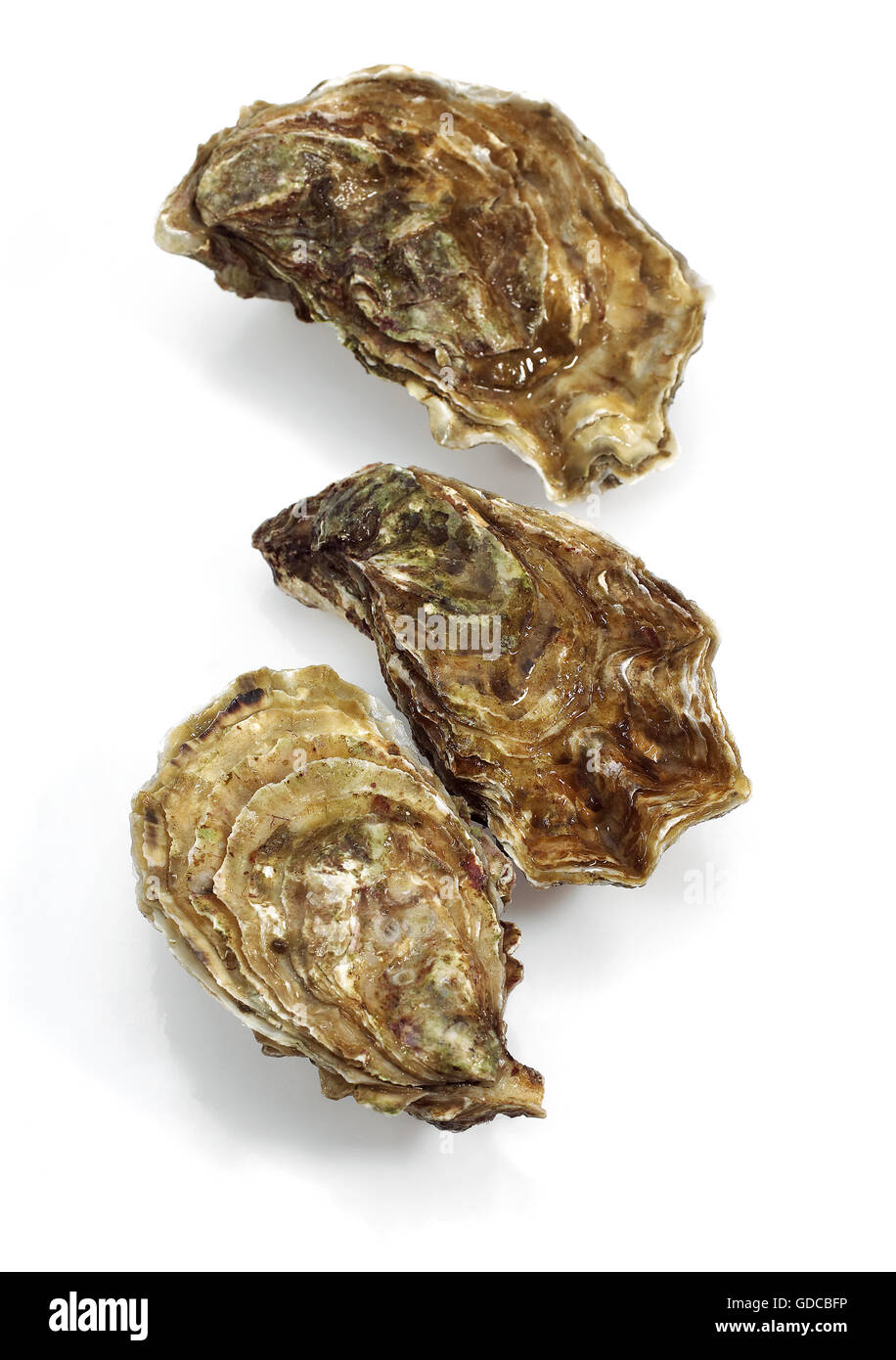 French Oyster Called Marennes d'Oleron, ostrea edulis, Seafoods against White Background 065173 Gerard LACZ - Stock Image