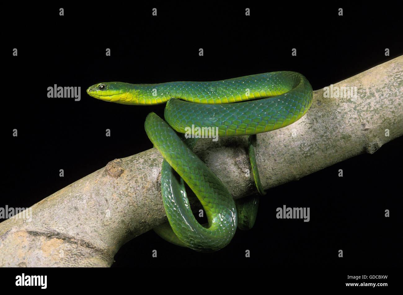 Green Snake, opheodrys major against Black Background - Stock Image