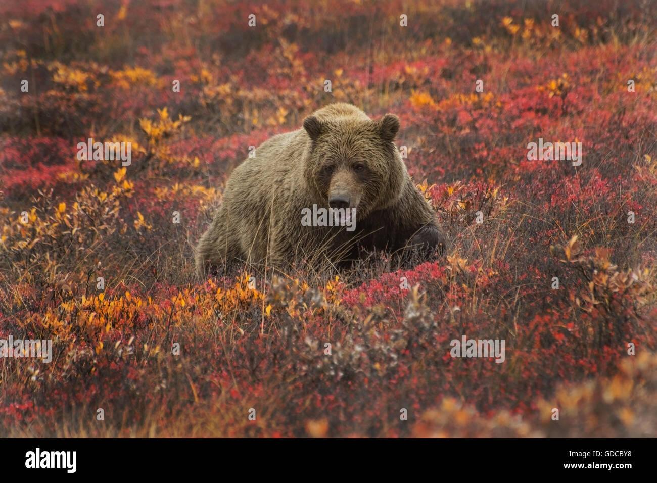 Grizzly (Ursus arctos) bear, Denali Nat'l Park, Alaska - Stock Image