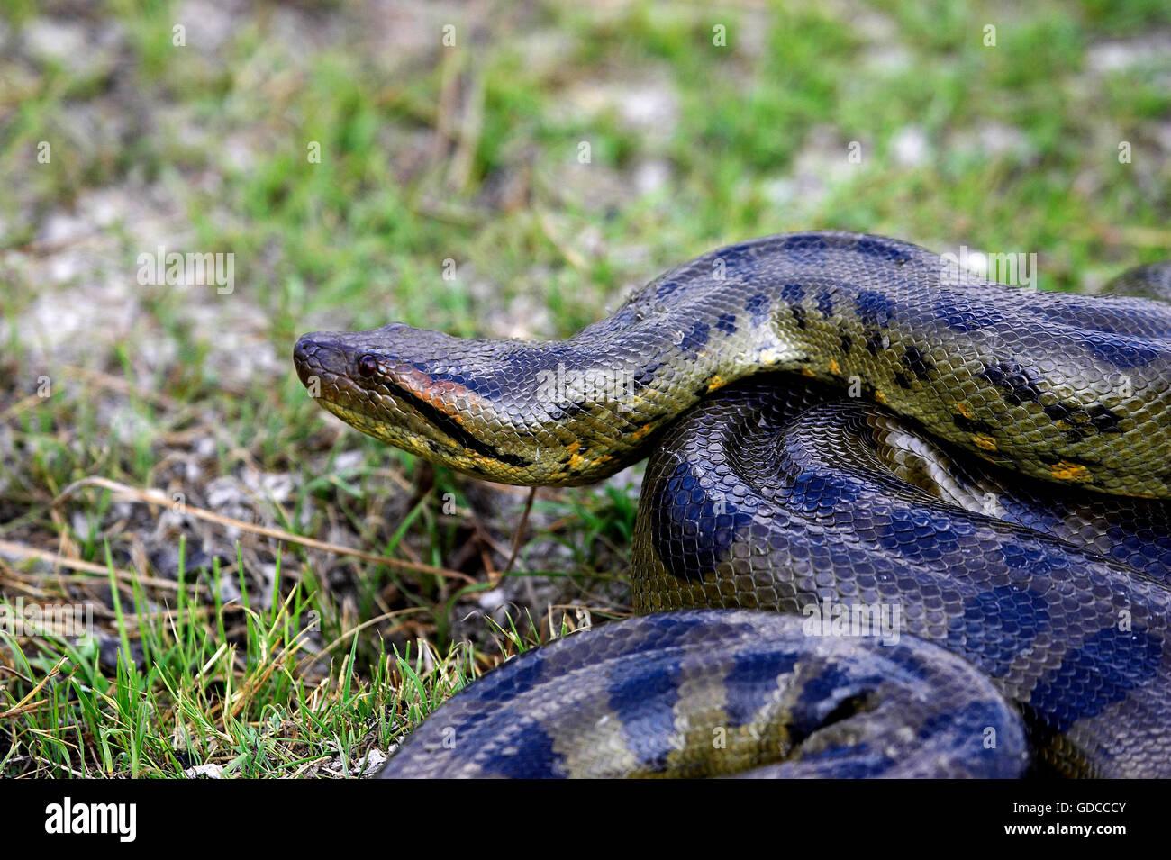 Green Anaconda, eunectes murinus, Los Lianos in Venezuela - Stock Image
