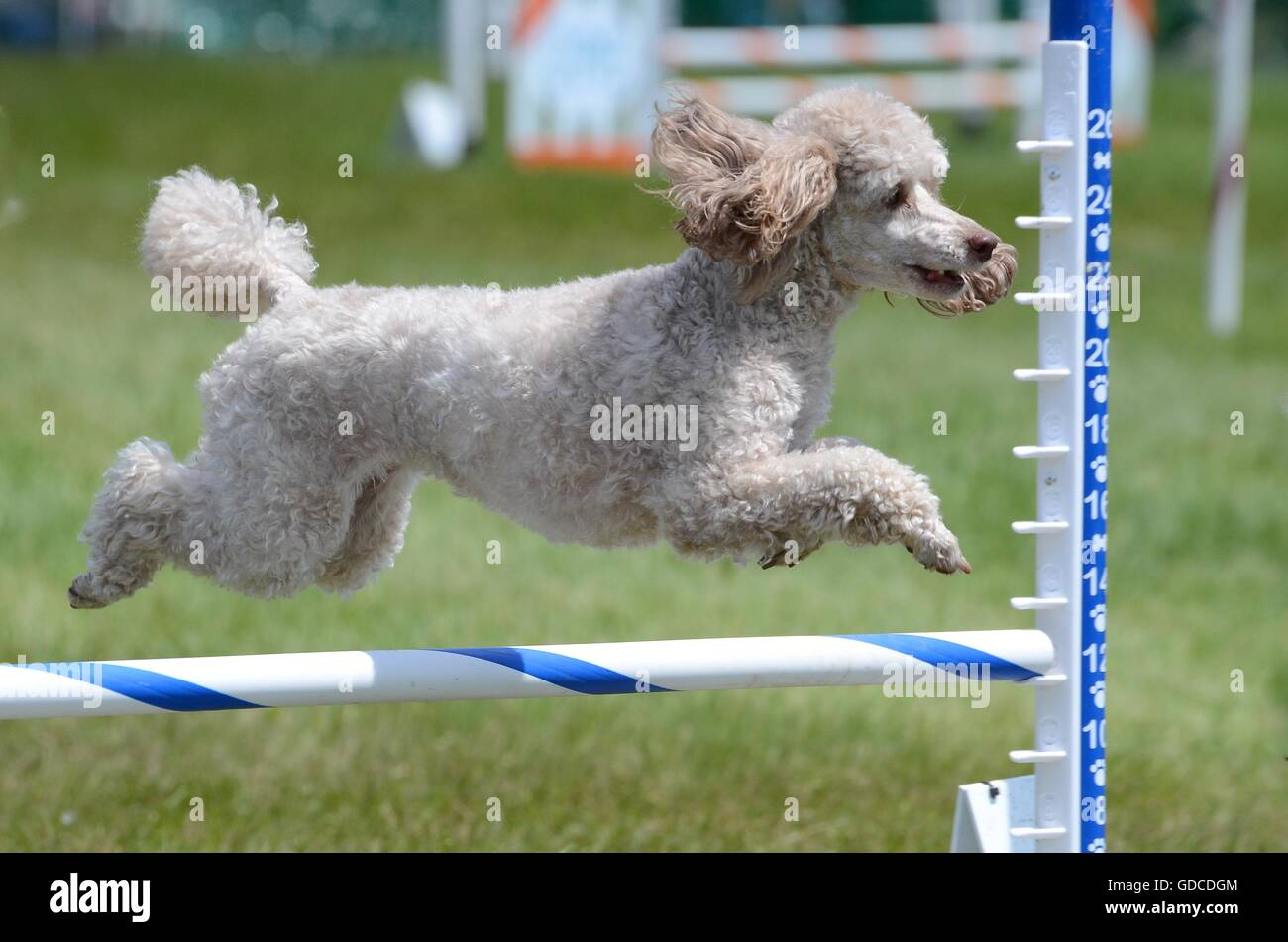 Miniature Poodle Leaping Over a Jump at a Dog Agility Trial - Stock Image