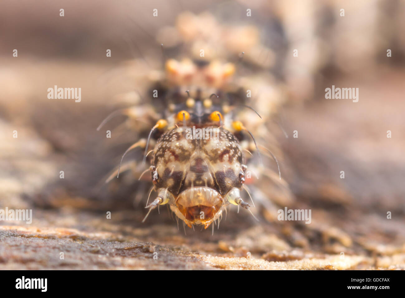 A frontal view of the head of a Common Fungus Moth (Metalectra discalis) caterpillar (larva). - Stock Image