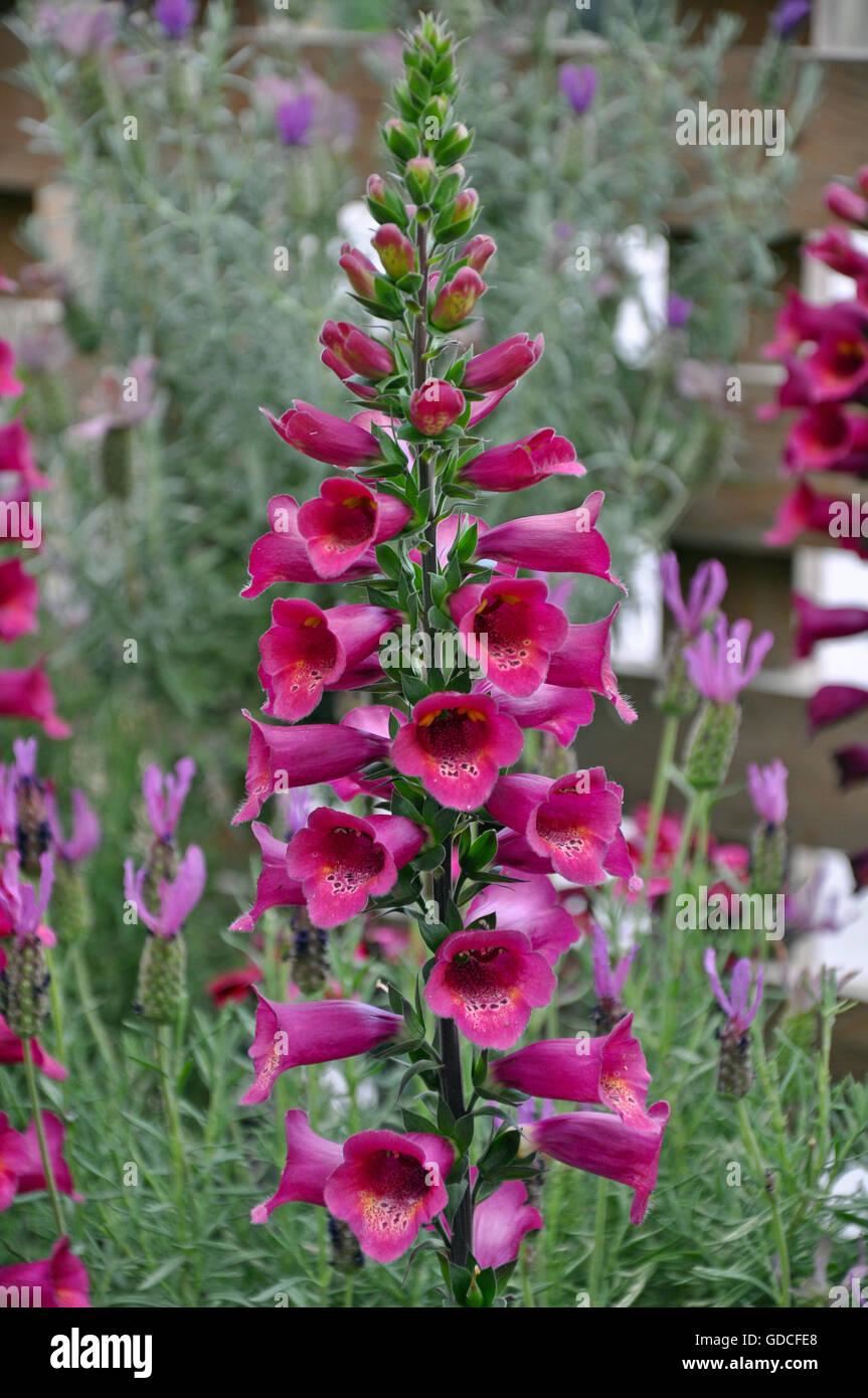 Beautiful Pink Foxglove Flowers In Garden Stock Photo 111528320 Alamy