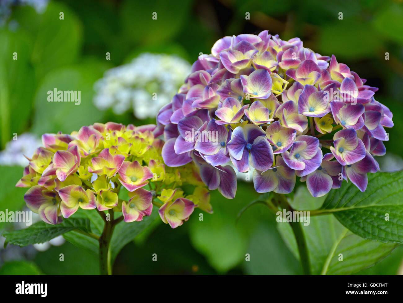 Beautiful pink yellow and purple hydrangea flowers stock photo beautiful pink yellow and purple hydrangea flowers mightylinksfo