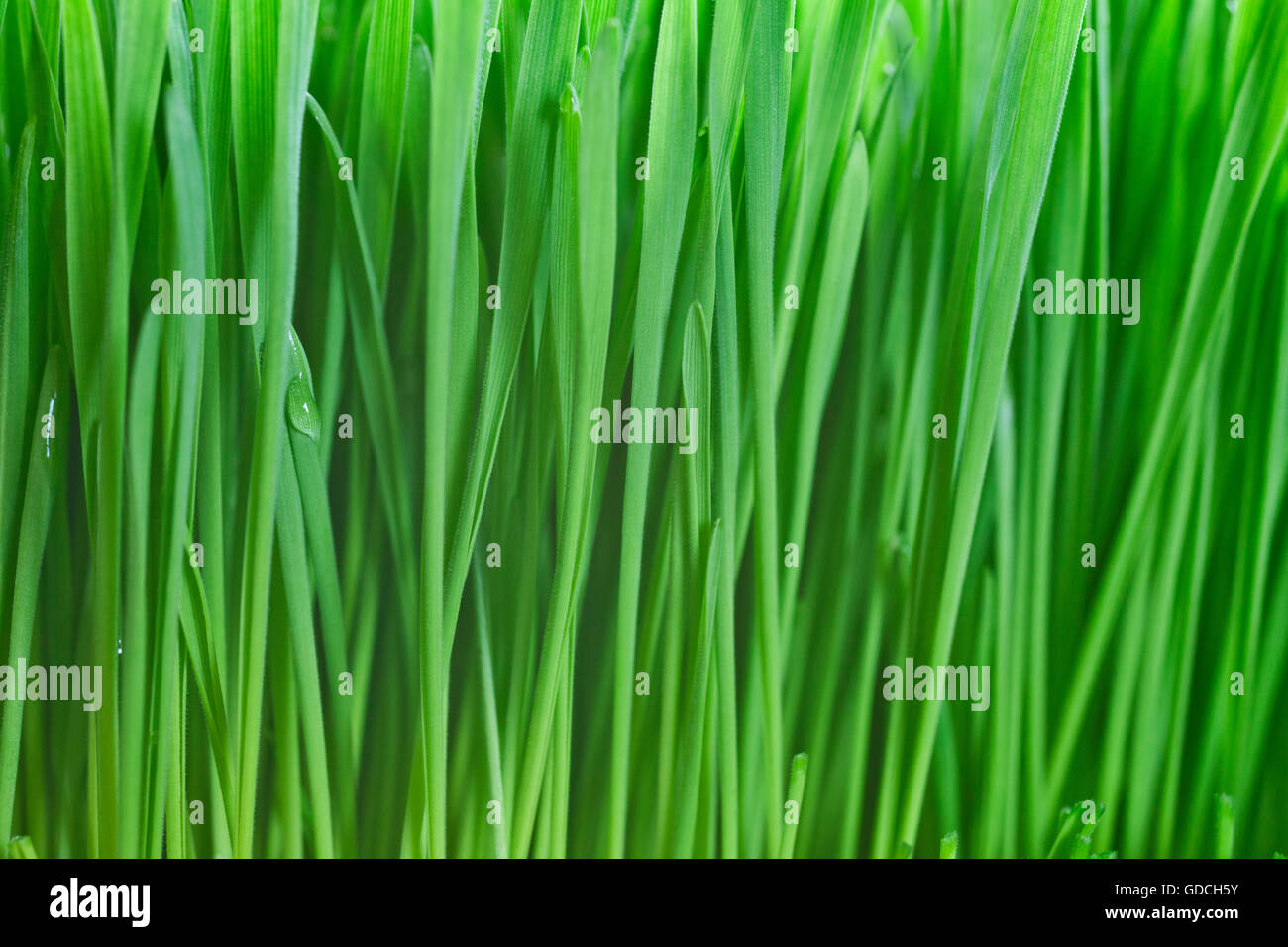 Lush, fresh green wheatgrass background with moisture drops - Stock Image