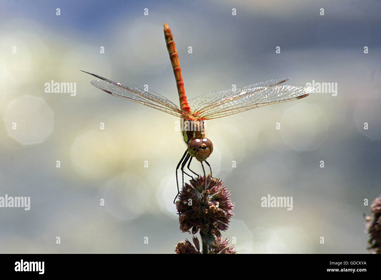 Red Darter dragonfly hand stand Stock Photo