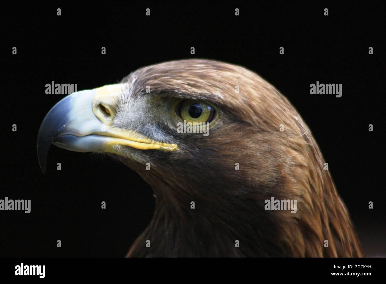 Golden Eagle portrait taken at Andover Hawk Conservancy - Stock Image