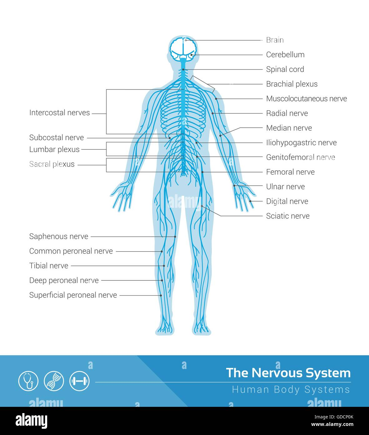 The human nervous system vector medical illustration - Stock Image