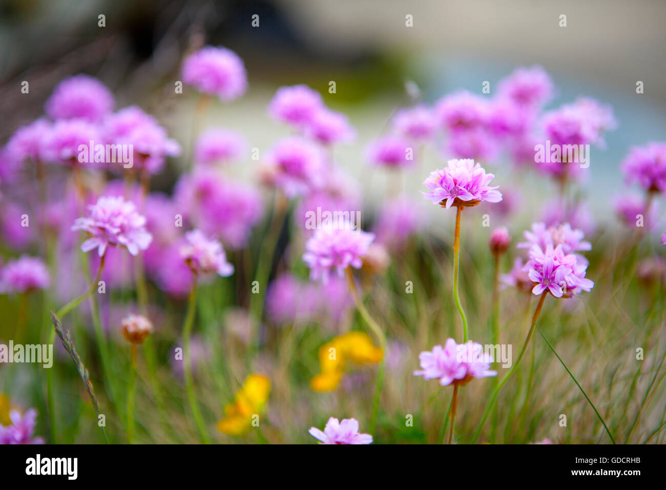 Sea pinks stock photos sea pinks stock images alamy thrift or sea pinks armeria maritima growing near portmeirion gwynedd by mightylinksfo