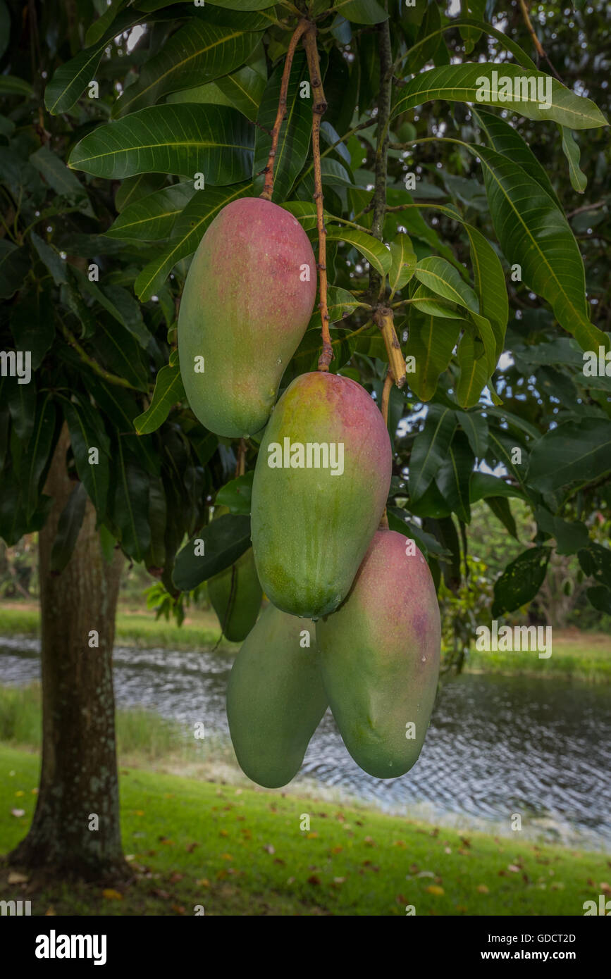 Mangos ripening on a tree by a lake - Stock Image
