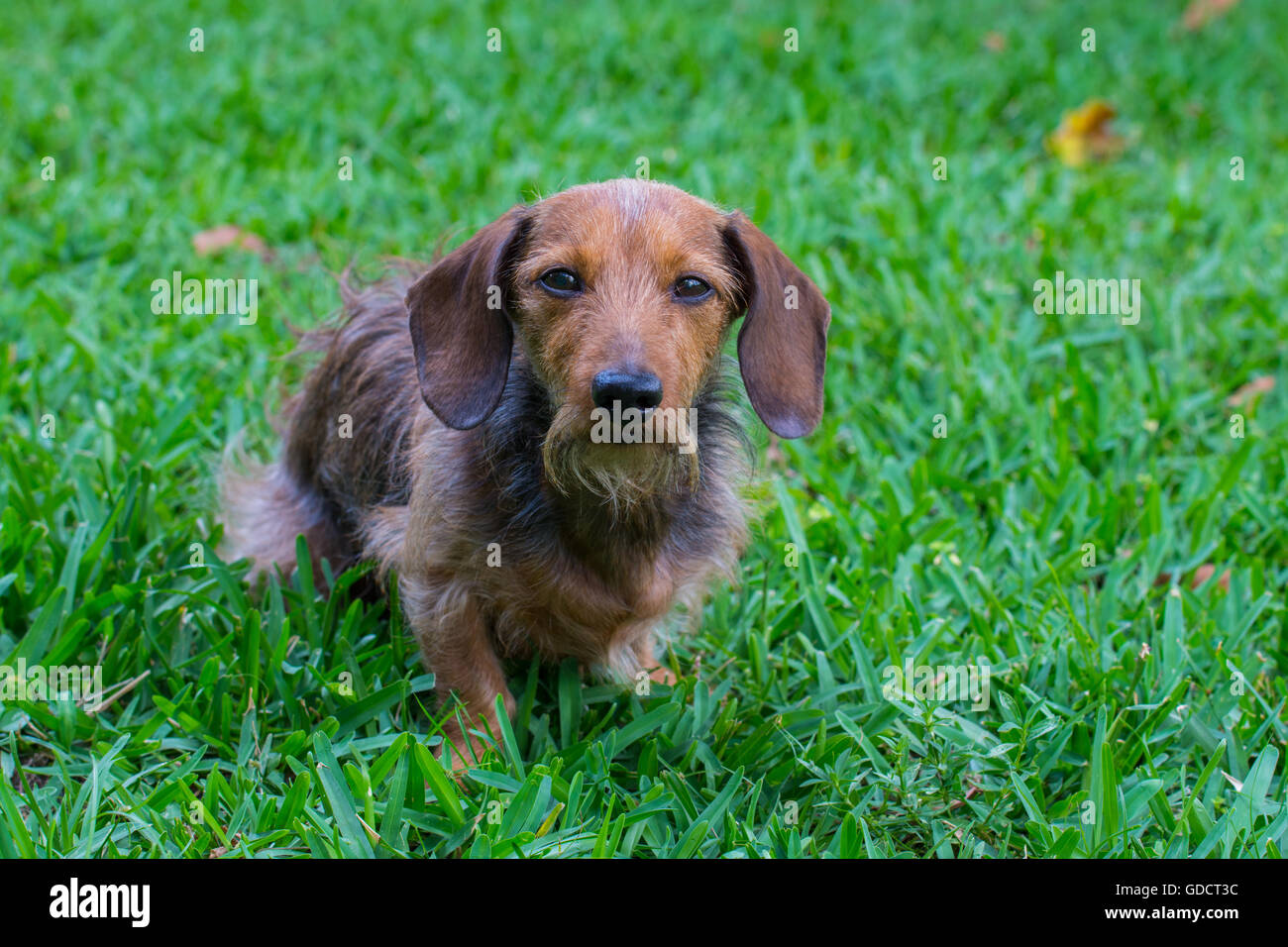 Wire Hair Dachshund in grass looking at camera - Stock Image