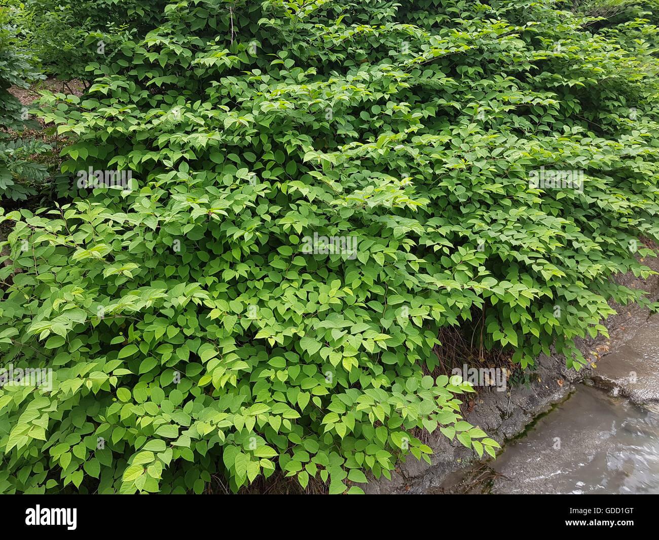 Japanischer, Knoeterich, Fallopia, japonica Stock Photo
