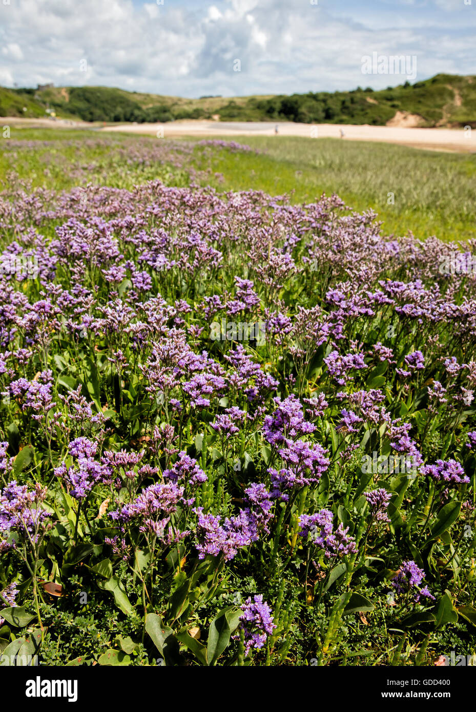 Sea Lavender LImonium vulgare growing on coastal salt marsh at Three Cliff Bay on the Gower peninsula in South Wales - Stock Image