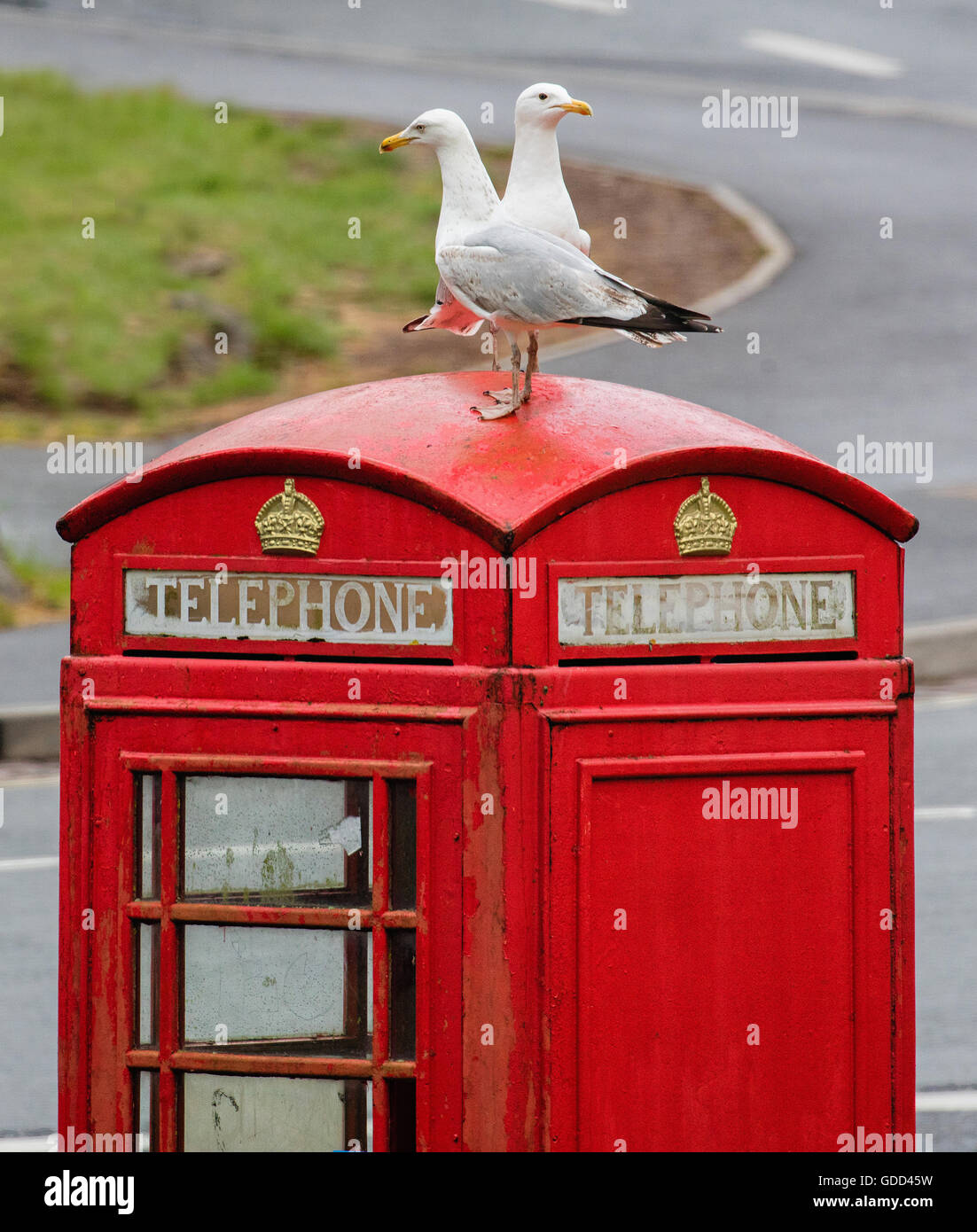 Two herring gulls on the roof of a red K6 telephone kiosk in Bristol UK - Stock Image