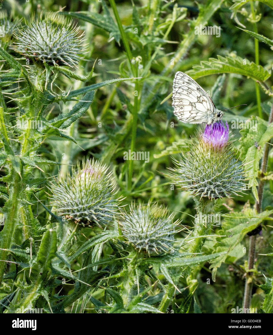 Marbled White butterfly Melanargia galathea on early Scotch Thistle Onopordum acanthium - Stock Image
