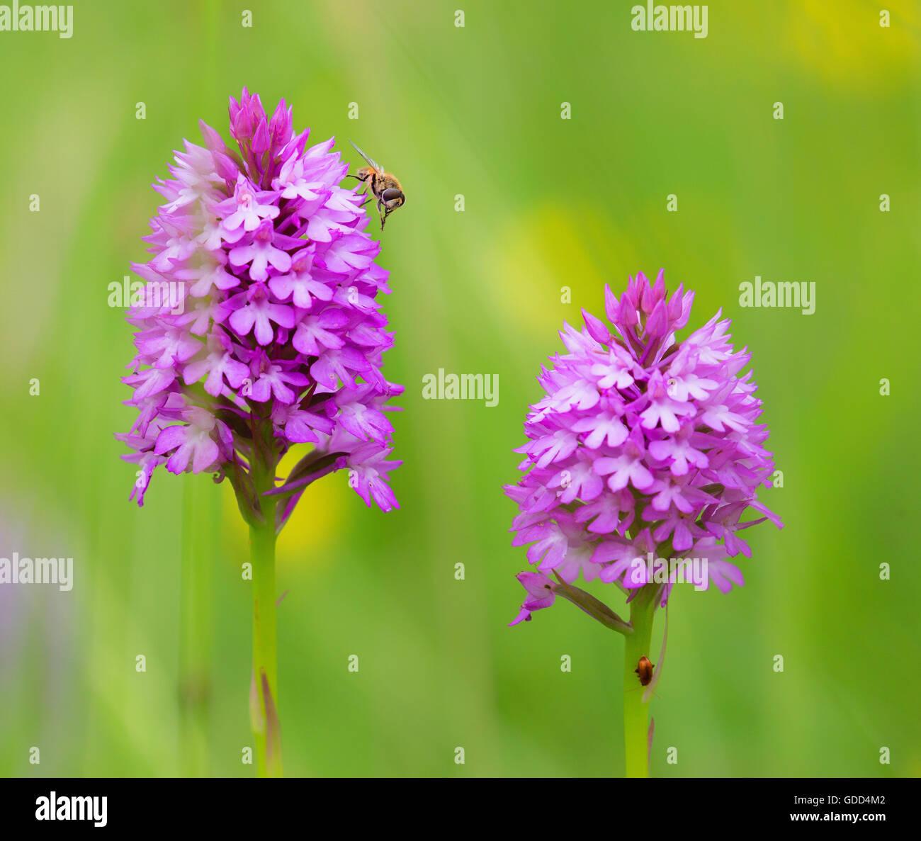 Pair of Pyramidal Orchids Anacamptis pyramidalis with visiting hover fly - Stock Image