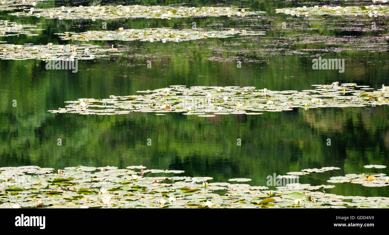 Bosherston Lily Ponds near Stackpole in south Pembrokeshire UK with white water lilies and woodland reflections - Stock Image