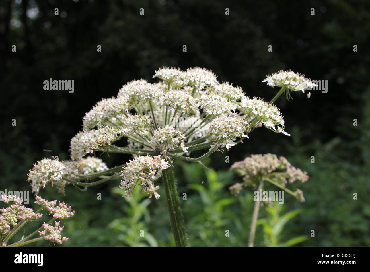 Giant hogweed - Stock Image