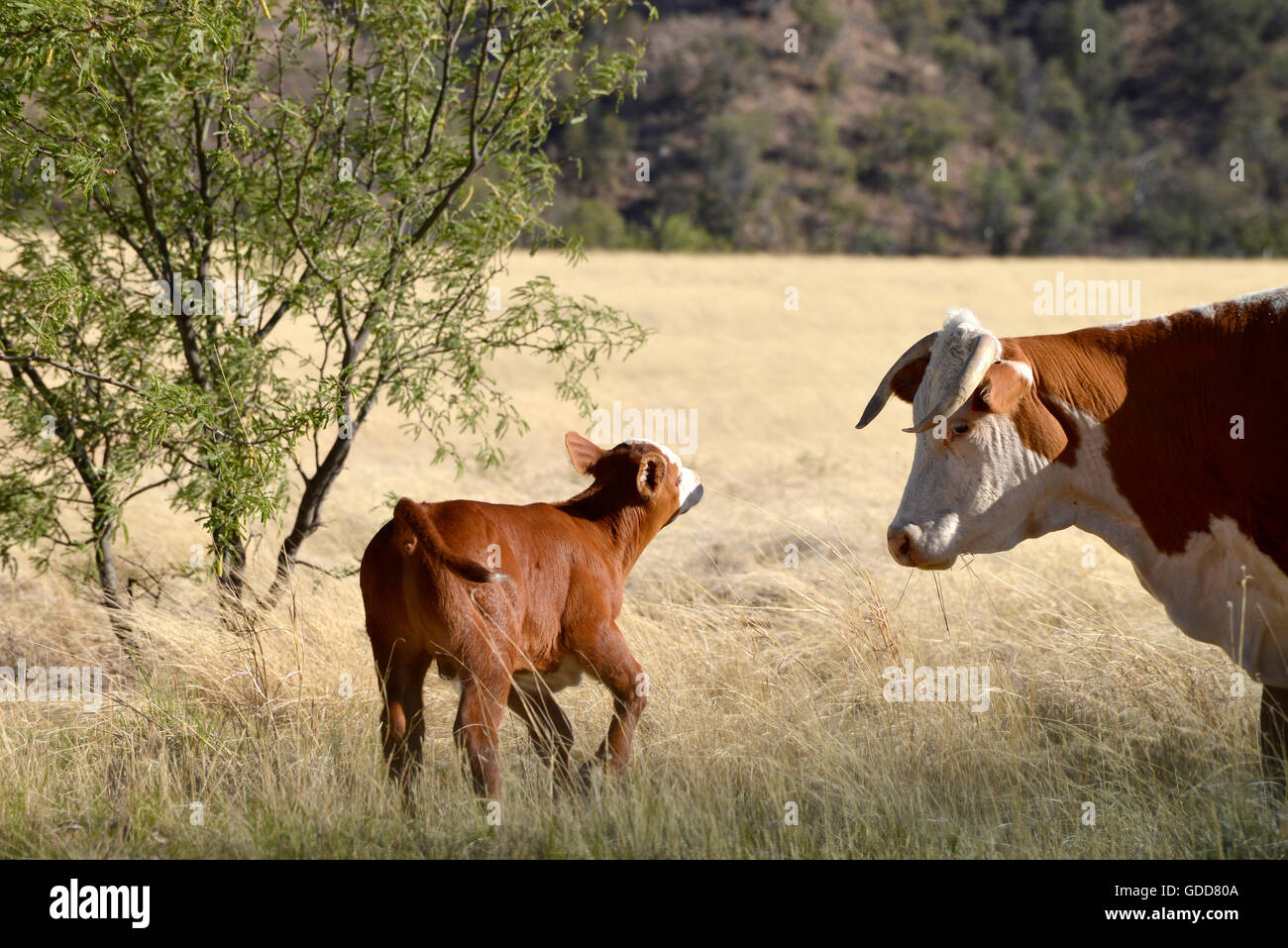 Cattle graze on open range, Coronado National Forest, Santa Rita Mountains, Sonoita, Arizona, USA. Stock Photo