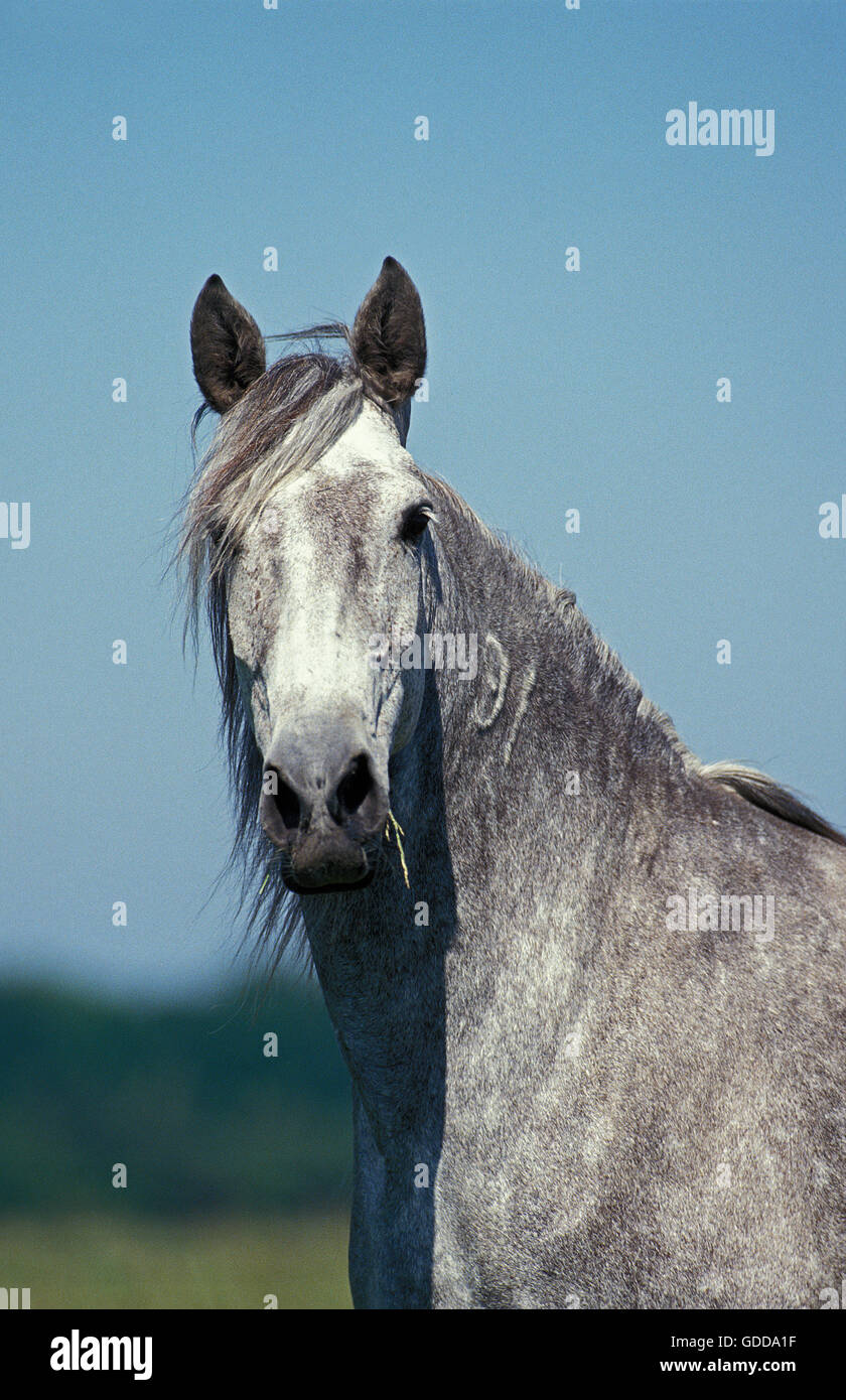 LUSITANO HORSE, PORTRAIT OF ADULT - Stock Image
