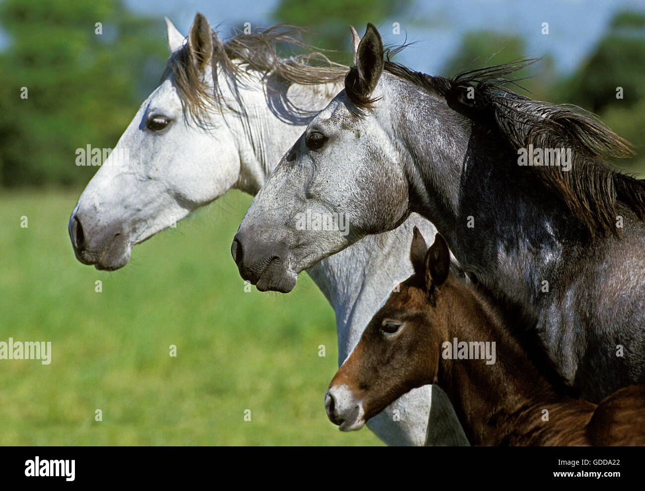 Lusitano Horse, Mare with Foal - Stock Image