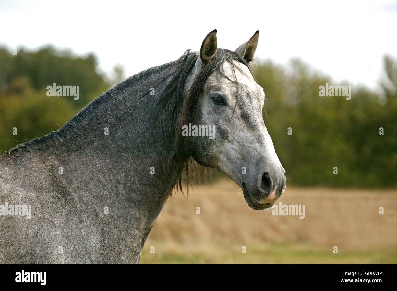 Lusitano Horse, Portrait of Stallion - Stock Image
