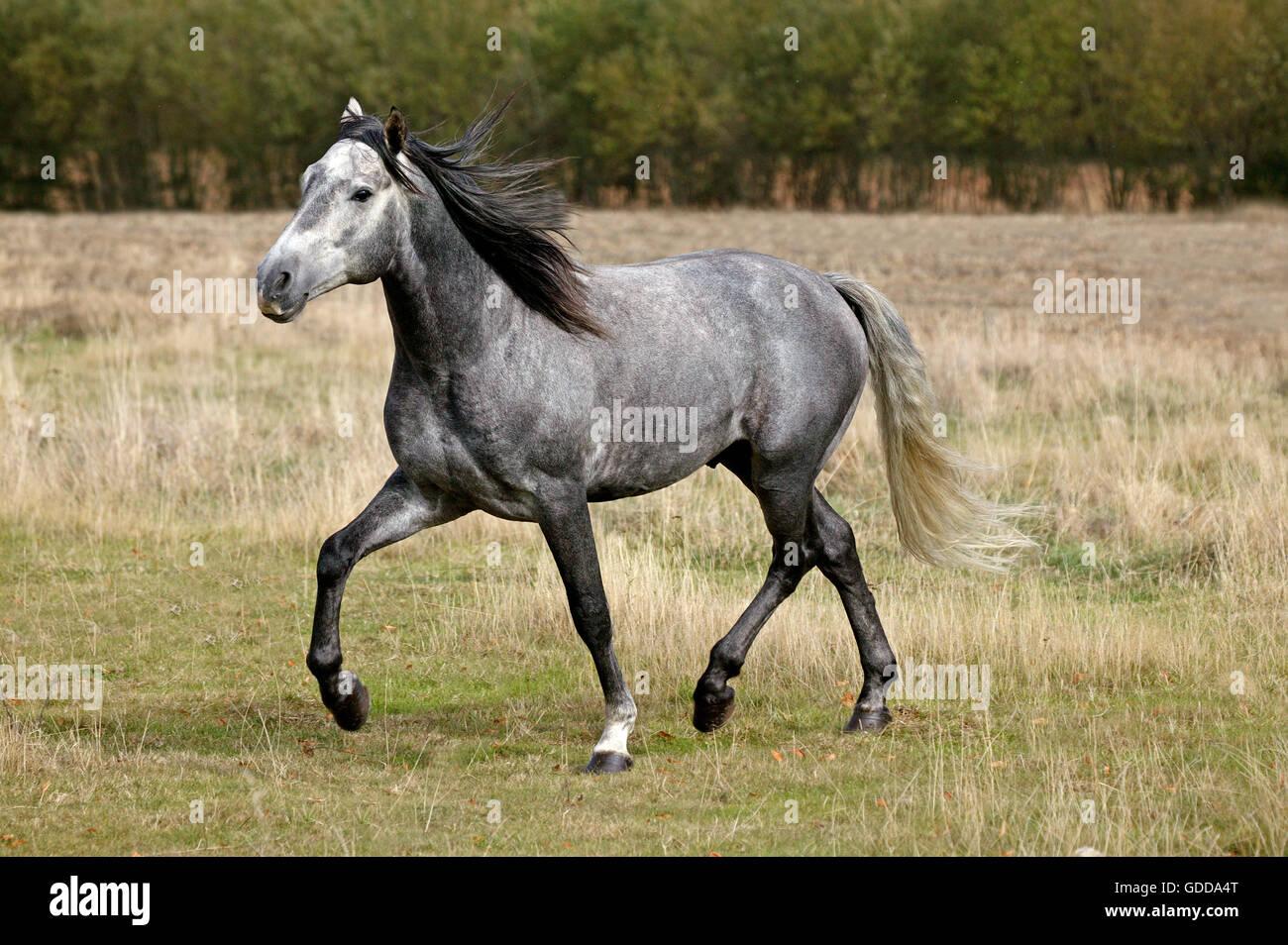 Lusitano Horse, Stallion - Stock Image