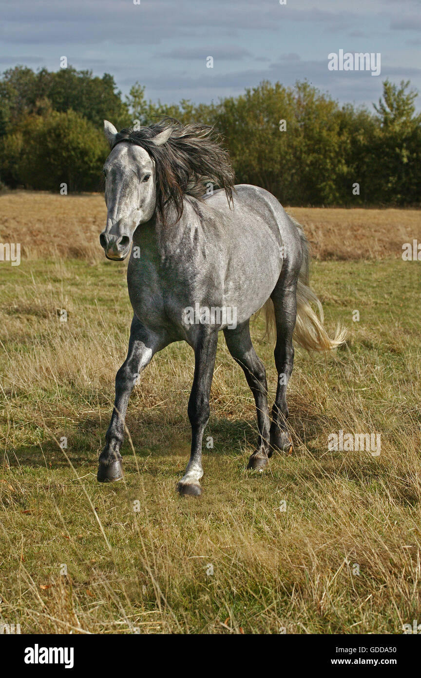 LUSITANO HORSE IN MEADOW - Stock Image