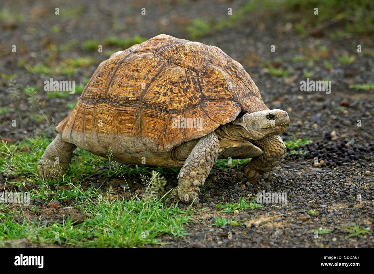Leopard Tortoise, geochelone pardalis, Adult on Grass, Kenya - Stock Image